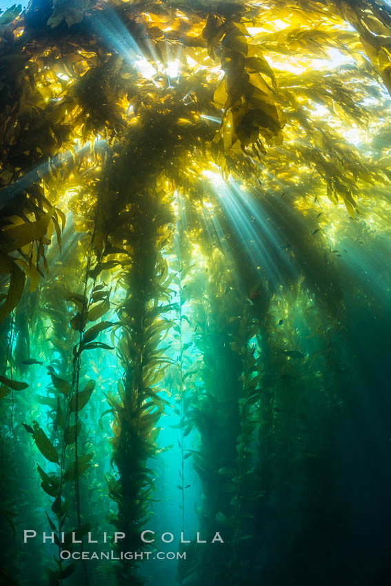 Sunlight streams through giant kelp forest. Giant kelp, the fastest growing plant on Earth, reaches from the rocky reef to the ocean's surface like a submarine forest. Catalina Island, California, USA, Macrocystis pyrifera, natural history stock photograph, photo id 33444