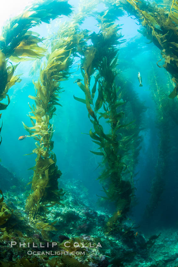 Sunlight streams through giant kelp forest. Giant kelp, the fastest growing plant on Earth, reaches from the rocky reef to the ocean's surface like a submarine forest. Catalina Island, California, USA, Macrocystis pyrifera, natural history stock photograph, photo id 33448