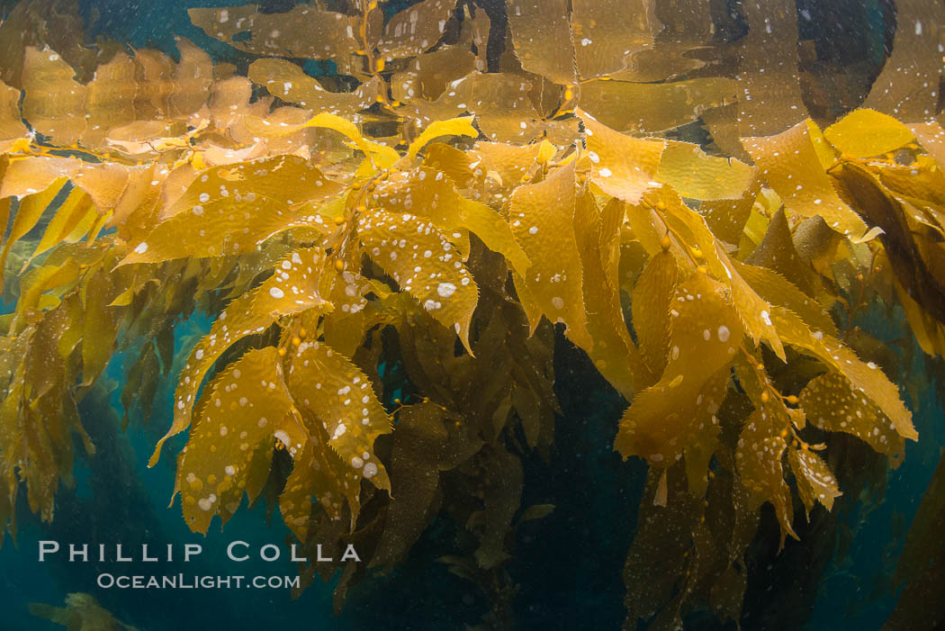 """Giant kelp frond showing pneumatocysts. Small gas bladders -- pneumatocysts -- connect the kelp's stipes (""""stems"""") to its blades (""""leaves""""). These bladders help elevate the kelp plant from the bottom, towards sunlight and the water's surface. Catalina Island, California, USA, Macrocystis pyrifera, natural history stock photograph, photo id 33440"""