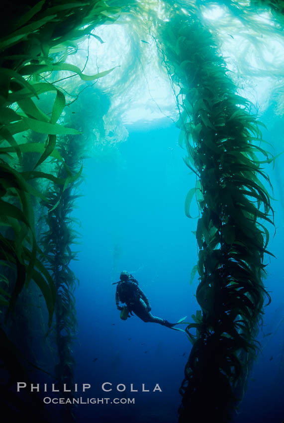 Image 01286, Diver amidst kelp, San Benito Islands. San Benito Islands (Islas San Benito), Baja California, Mexico, Macrocystis pyrifera, Phillip Colla, all rights reserved worldwide. Keywords: algae, baja california, braendeltang, california, environment, forest, gedroogde kelp, giant kelp, habitat, harina de kelp, harina de la macroalga, kelp, kelp forest, landscape, macroalga marina, macrocystis, macrocystis pyrifera, man and ocean, marine, marine algae, marine plant, mexico, nature, ocean, oceans, outdoors, outside, pacific, pacific ocean, people, phaeophyceae, plant, reuzenkelp, san benito island, san benito islands, sargazo gigante, scene, scenery, scenic, scuba diver, sea, sea grass, sea weed, seascape, seaweed, underwater, underwater landscape, zeewier.