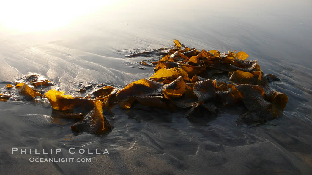 Kelp washes ashore in clumps on the rising tide. Carlsbad, California, USA, Macrocystis pyrifera, natural history stock photograph, photo id 19814