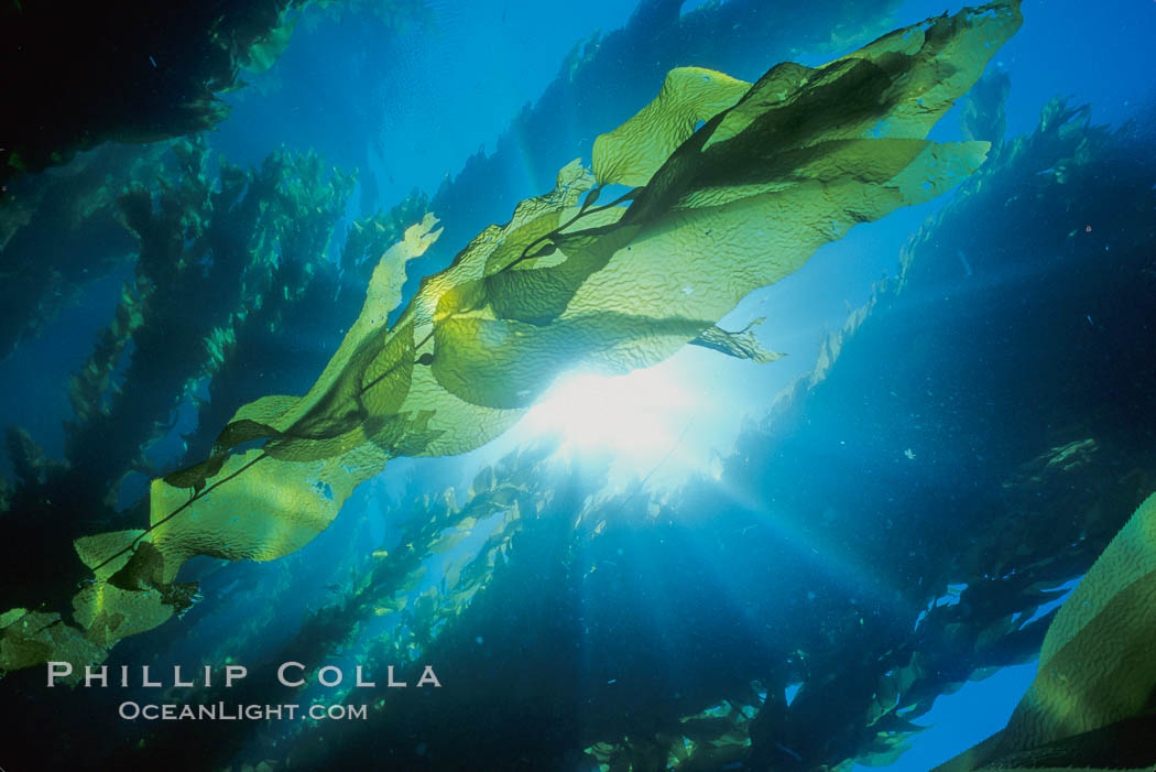 Kelp fronds and forest. San Clemente Island, California, USA, Macrocystis pyrifera, natural history stock photograph, photo id 01497