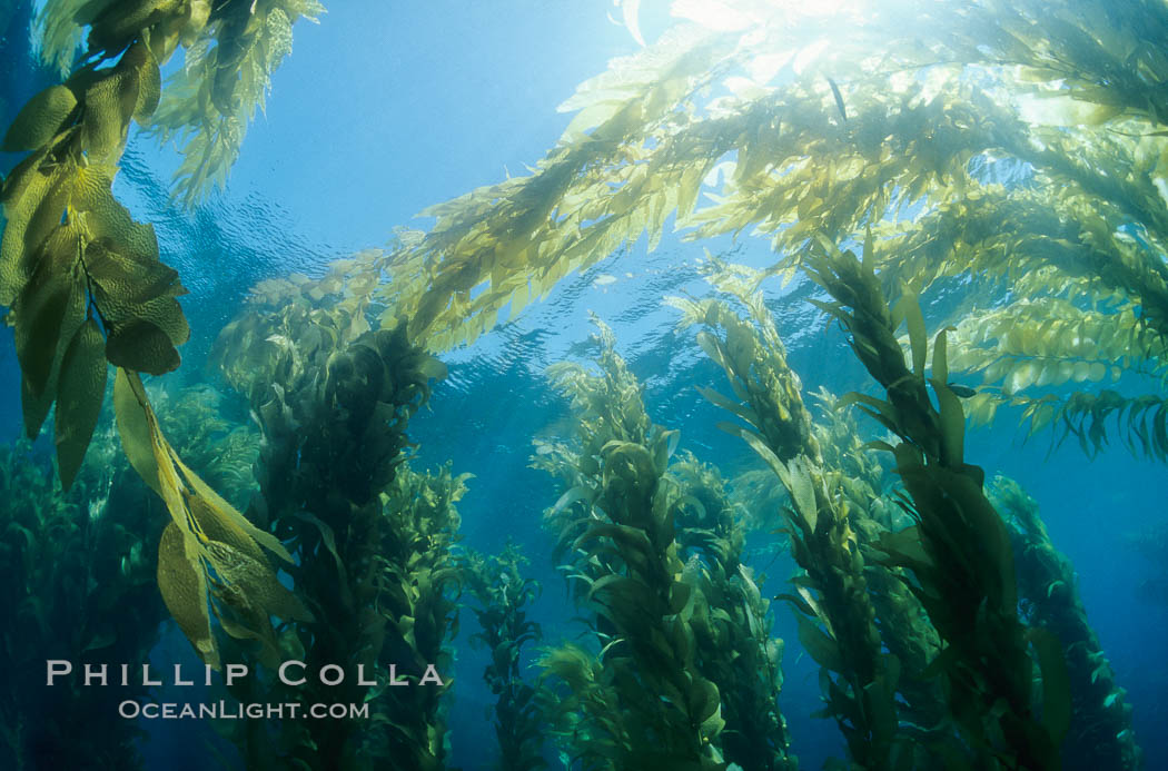 Image 02121, Kelp forest canopy. San Clemente Island, California, USA, Macrocystis pyrifera, Phillip Colla, all rights reserved worldwide. Keywords: algae, braendeltang, california, channel islands, environment, forest, gedroogde kelp, giant kelp, habitat, harina de kelp, harina de la macroalga, kelp, kelp forest, landscape, macroalga marina, macrocystis, macrocystis pyrifera, marine, marine algae, marine plant, nature, ocean, oceans, outdoors, outside, pacific, pacific ocean, phaeophyceae, plant, reuzenkelp, san clemente island, sargazo gigante, scene, scenery, scenic, sea, sea grass, sea weed, seascape, seaweed, underwater, underwater landscape, usa, zeewier.