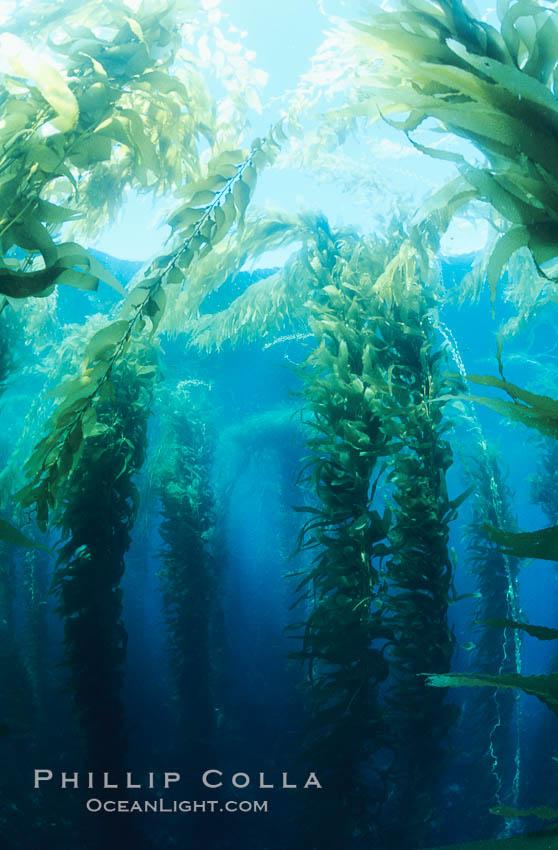 Kelp forest. San Clemente Island, California, USA, Macrocystis pyrifera, natural history stock photograph, photo id 19922