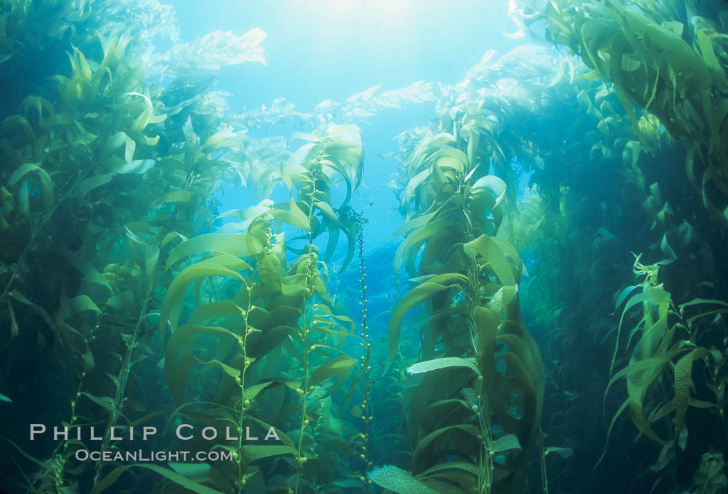 Kelp forest. San Clemente Island, California, USA, Macrocystis pyrifera, natural history stock photograph, photo id 04660