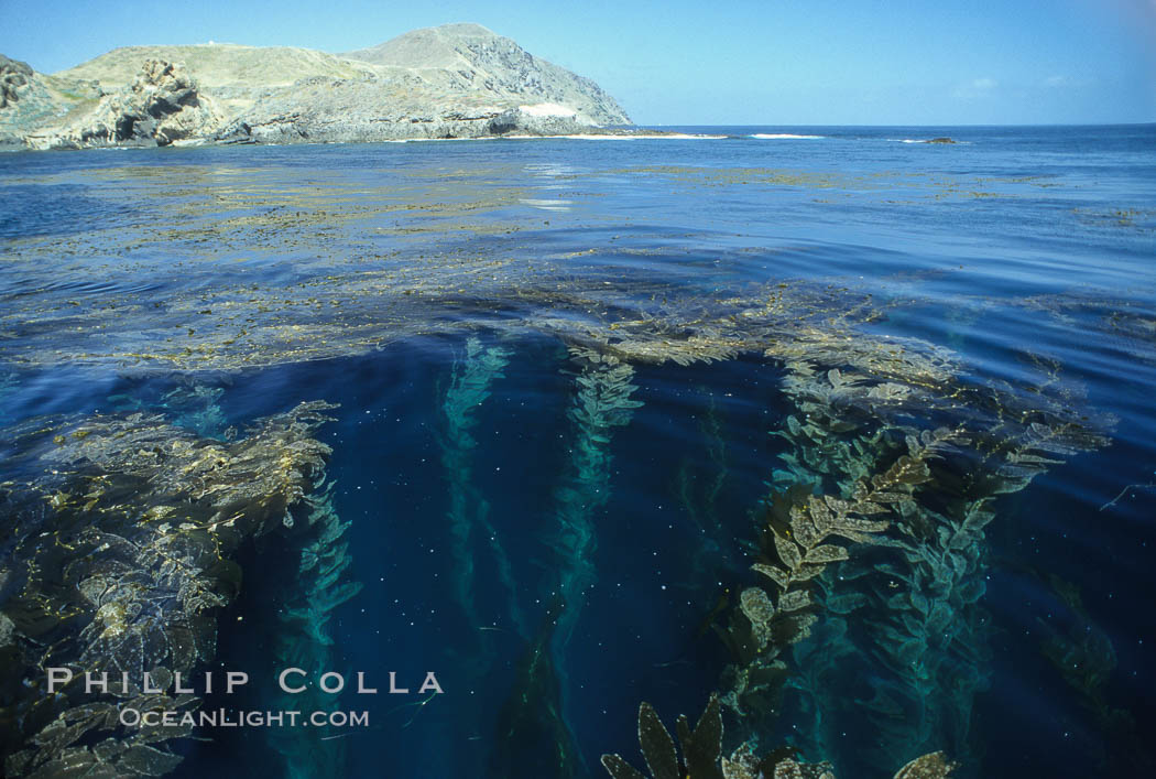 Giant kelp rises from the ocean depths toward sunlight and the surface.  San Clemente Island. San Clemente Island, California, USA, Macrocystis pyrifera, natural history stock photograph, photo id 18716