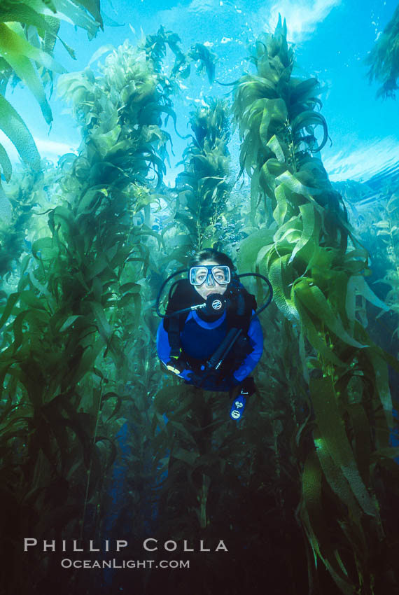 Diver in kelp forest. San Clemente Island, California, USA, Macrocystis pyrifera, natural history stock photograph, photo id 01104