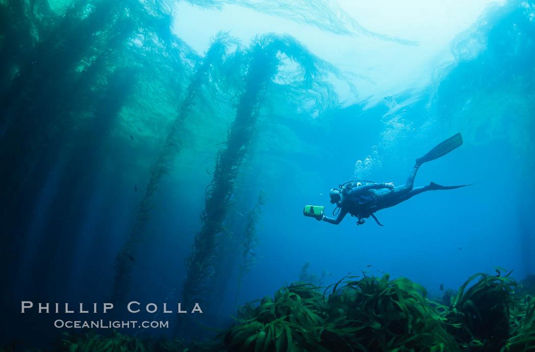 Diver and kelp forest. San Benito Islands (Islas San Benito), Baja California, Mexico, Macrocystis pyrifera, natural history stock photograph, photo id 01975