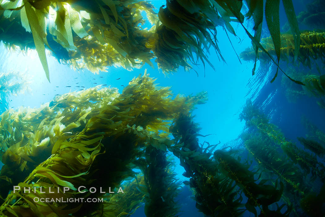 Giant kelp plants lean over in ocean currents, underwater.  Individual kelp plants grow from the rocky reef, to which they are attached, up to the ocean surface and form a vibrant community in which fishes, mammals and invertebrates thrive. San Clemente Island, California, USA, Macrocystis pyrifera, natural history stock photograph, photo id 23426