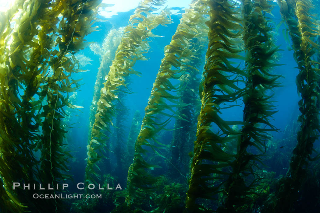A kelp forest.  Giant kelp grows rapidly, up to 2' per day, from the rocky reef on the ocean bottom to which it is anchored, toward the ocean surface where it spreads to form a thick canopy.  Myriad species of fishes, mammals and invertebrates form a rich community in the kelp forest.  Lush forests of kelp are found through California's Southern Channel Islands. San Clemente Island, USA, Macrocystis pyrifera, natural history stock photograph, photo id 23478