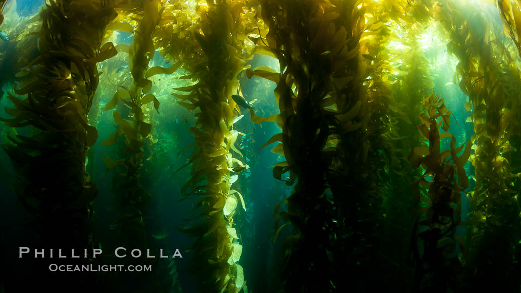 A view of an underwater forest of giant kelp.  Giant kelp grows rapidly, up to 2' per day, from the rocky reef on the ocean bottom to which it is anchored, toward the ocean surface where it spreads to form a thick canopy.  Myriad species of fishes, mammals and invertebrates form a rich community in the kelp forest.  Lush forests of kelp are found through California's Southern Channel Islands. San Clemente Island, California, USA, Macrocystis pyrifera, natural history stock photograph, photo id 25402