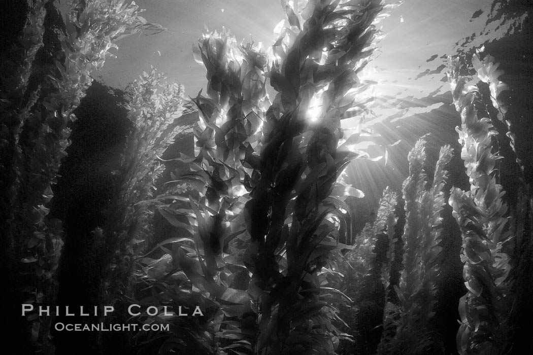 A kelp forest.  Giant kelp grows rapidly, up to 2' per day, from the rocky reef on the ocean bottom to which it is anchored, toward the ocean surface where it spreads to form a thick canopy.  Myriad species of fishes, mammals and invertebrates form a rich community in the kelp forest.  Lush forests of kelp are found through California's Southern Channel Islands. San Clemente Island, California, USA, Macrocystis pyrifera, natural history stock photograph, photo id 23435