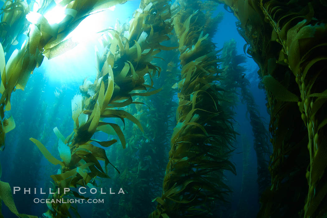 A kelp forest.  Giant kelp grows rapidly, up to 2' per day, from the rocky reef on the ocean bottom to which it is anchored, toward the ocean surface where it spreads to form a thick canopy.  Myriad species of fishes, mammals and invertebrates form a rich community in the kelp forest.  Lush forests of kelp are found through California's Southern Channel Islands. San Clemente Island, California, USA, Macrocystis pyrifera, natural history stock photograph, photo id 23515