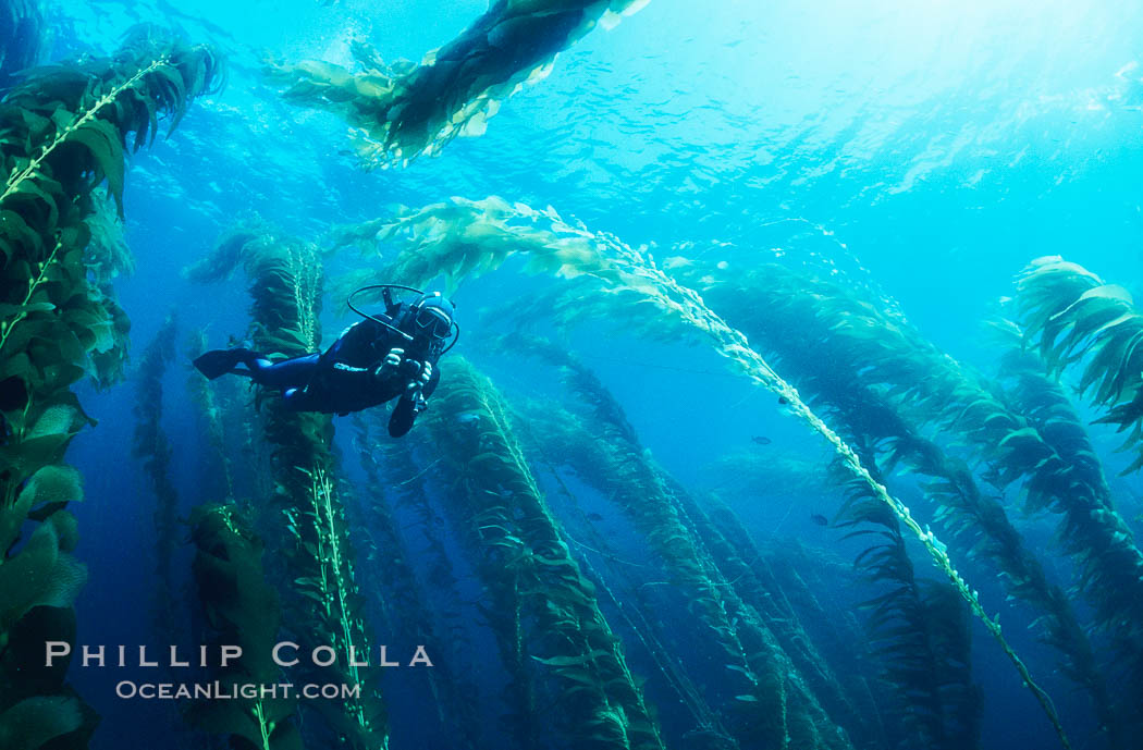 Image 19925, Diver amidst kelp forest. San Clemente Island, California, USA, Macrocystis pyrifera