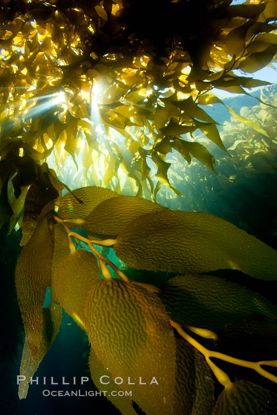 A view of an underwater forest of giant kelp.  Giant kelp grows rapidly, up to 2' per day, from the rocky reef on the ocean bottom to which it is anchored, toward the ocean surface where it spreads to form a thick canopy.  Myriad species of fishes, mammals and invertebrates form a rich community in the kelp forest.  Lush forests of kelp are found through California's Southern Channel Islands. San Clemente Island, California, USA, Macrocystis pyrifera, natural history stock photograph, photo id 25433