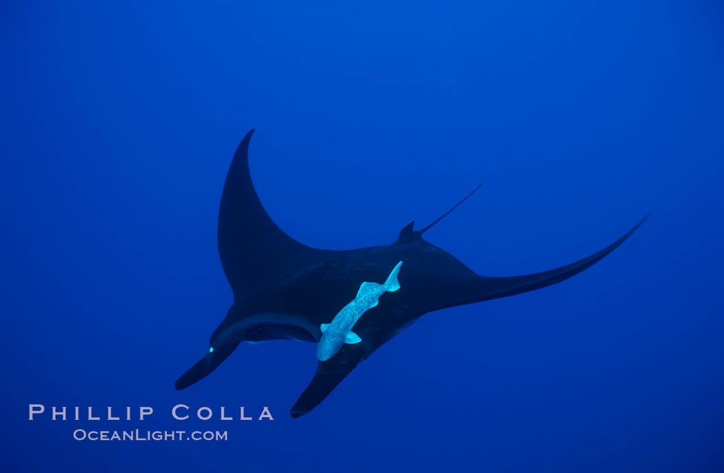 Manta ray. San Benedicto Island (Islas Revillagigedos), Baja California, Mexico, Manta birostris, natural history stock photograph, photo id 02447