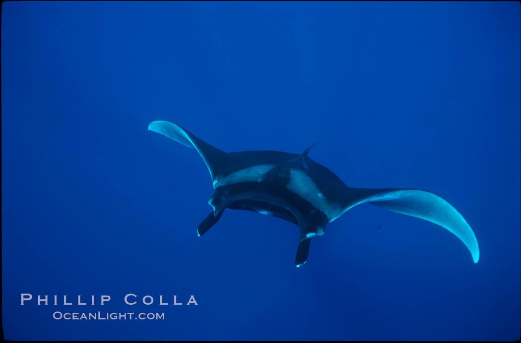 Manta ray. San Benedicto Island (Islas Revillagigedos), Baja California, Mexico, Manta birostris, natural history stock photograph, photo id 02449