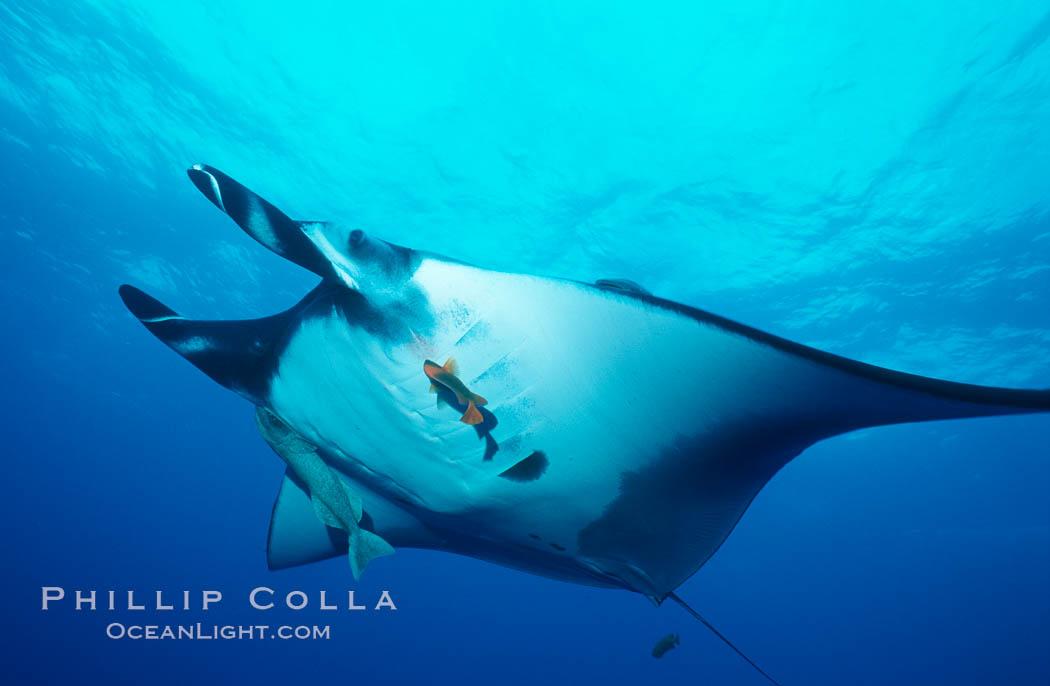 Pacific manta ray with remora and Clarion angelfish. San Benedicto Island (Islas Revillagigedos), Baja California, Mexico, Manta birostris, Remora, Holacanthus clarionensis, natural history stock photograph, photo id 06238