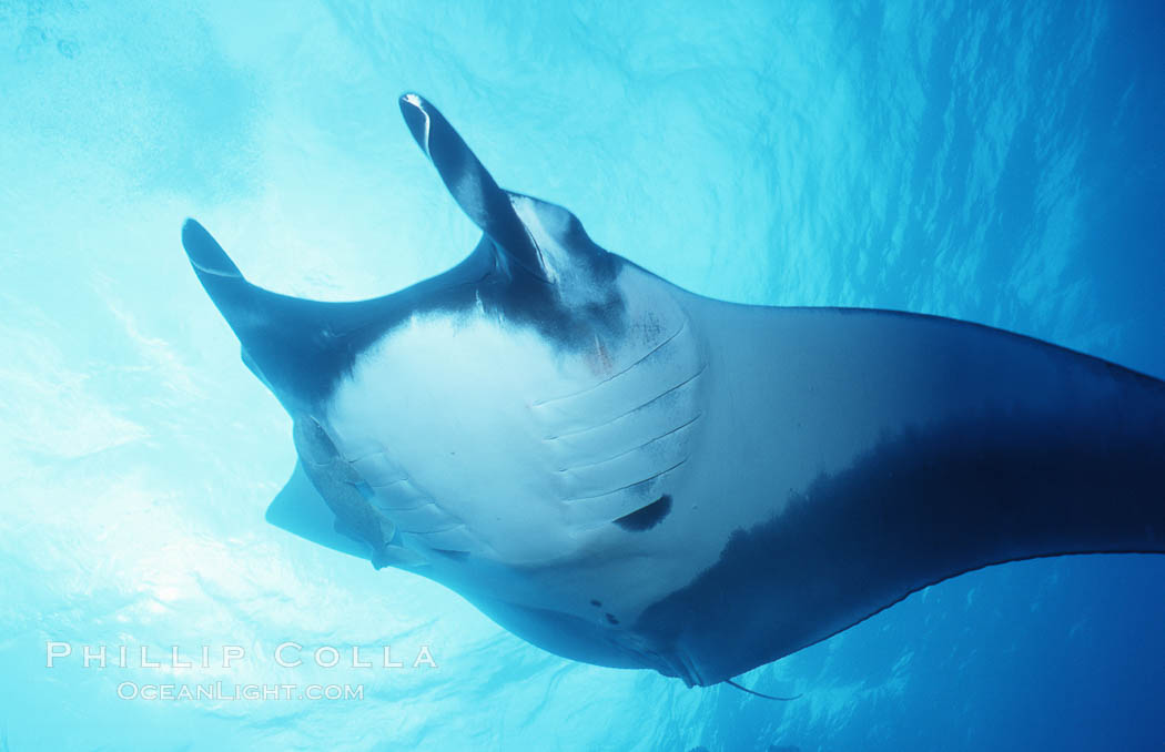 Pacific manta ray with remora, San Benedicto Island, Revilligigedos., Manta birostris, Remora, natural history stock photograph, photo id 06240
