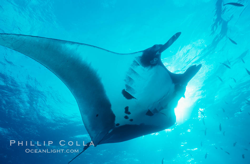 Pacific manta ray with remora. San Benedicto Island (Islas Revillagigedos), Baja California, Mexico, Manta birostris, Remora, natural history stock photograph, photo id 06256