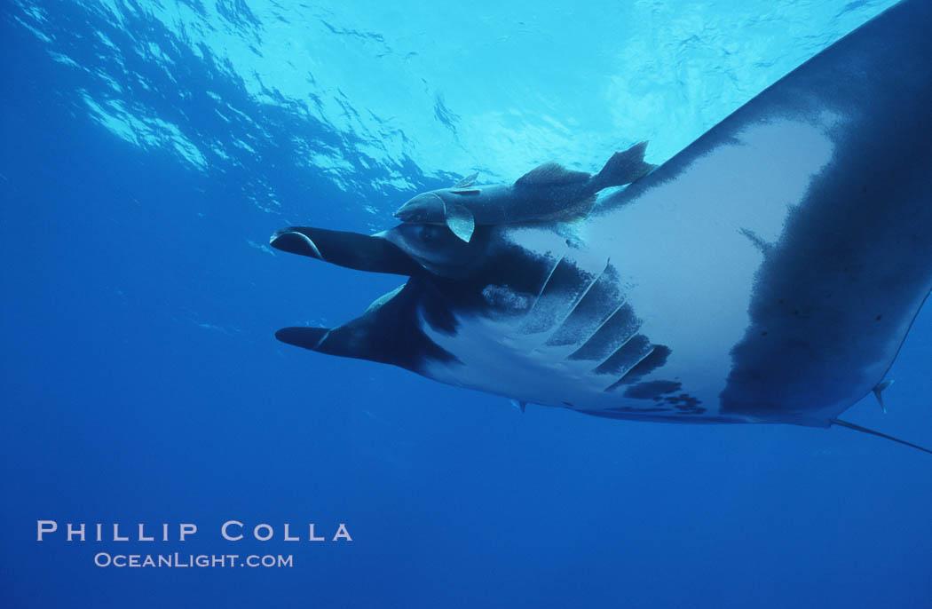 Pacific manta ray with remora, San Benedicto Island, Revilligigedos., Manta birostris, Remora, natural history stock photograph, photo id 06239