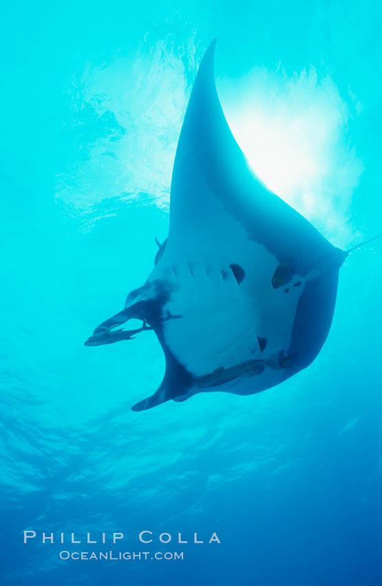 Pacific manta ray with remora. San Benedicto Island (Islas Revillagigedos), Baja California, Mexico, Manta birostris, Remora, natural history stock photograph, photo id 06259