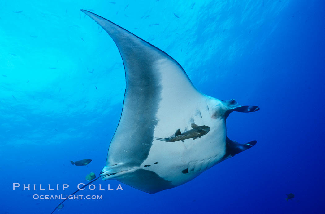 Pacific manta ray with remora. San Benedicto Island (Islas Revillagigedos), Baja California, Mexico, Manta birostris, Remora, natural history stock photograph, photo id 06253