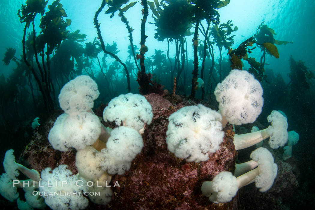 Giant Plumose Anemones cover underwater reef, Browning Pass, northern Vancouver Island, Canada. British Columbia, Canada, Metridium farcimen, natural history stock photograph, photo id 35418