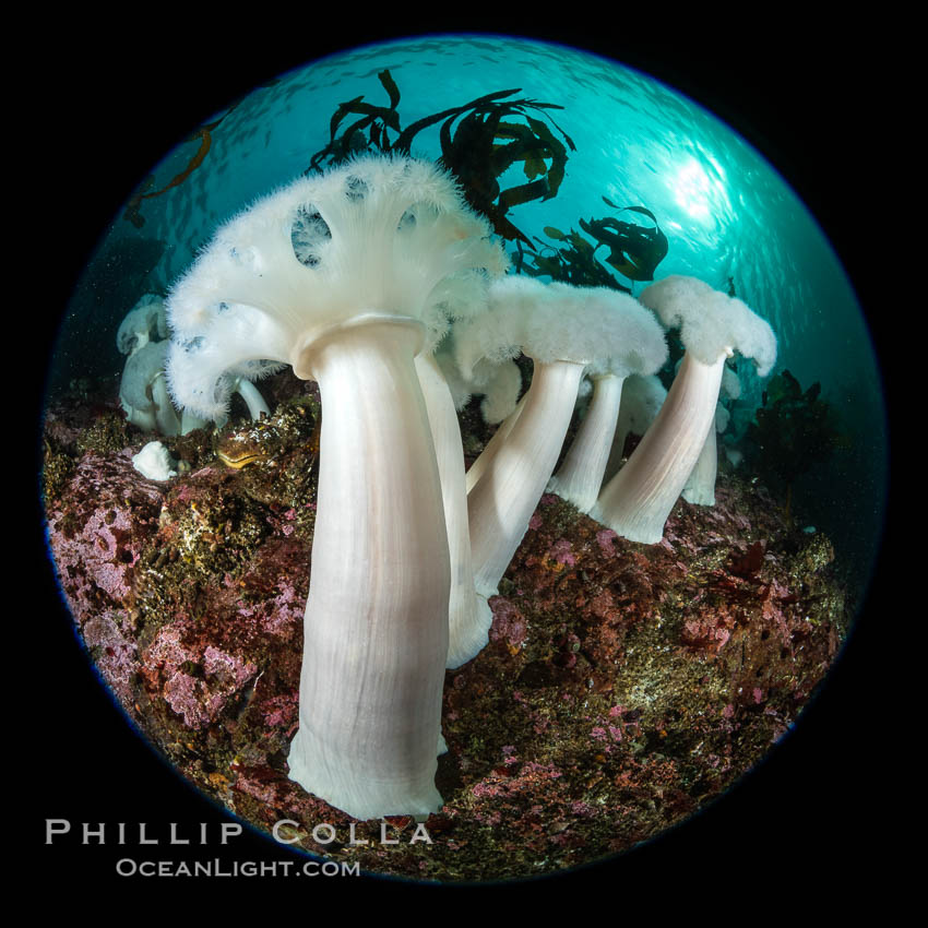 Giant Plumose Anemones cover underwater reef, Browning Pass, northern Vancouver Island, Canada. British Columbia, Canada, Metridium farcimen, natural history stock photograph, photo id 35344