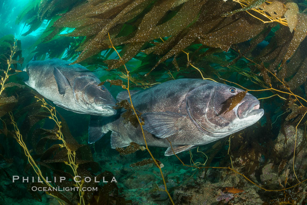 Giant black sea bass, gathering in a mating - courtship aggregation amid kelp forest, Catalina Island. California, USA, Stereolepis gigas, natural history stock photograph, photo id 33382