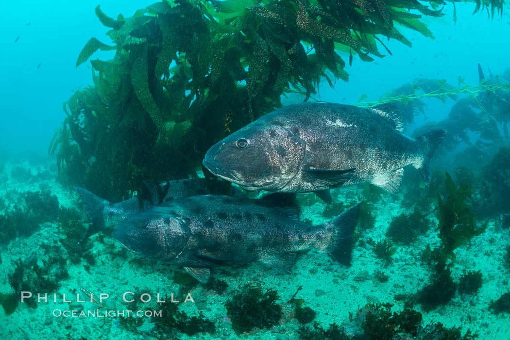 Giant black sea bass, gathering in a mating - courtship aggregation amid kelp forest, Catalina Island. Catalina Island, California, USA, Stereolepis gigas, natural history stock photograph, photo id 33402
