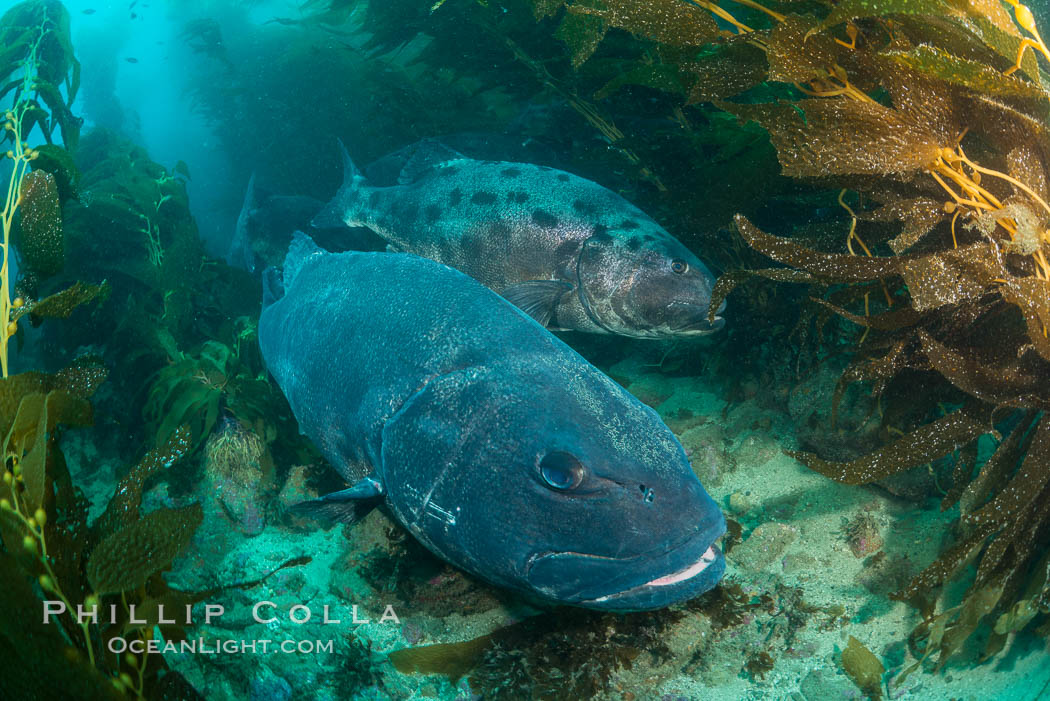 Giant black sea bass, gathering in a mating - courtship aggregation amid kelp forest, Catalina Island. California, USA, Stereolepis gigas, natural history stock photograph, photo id 33412
