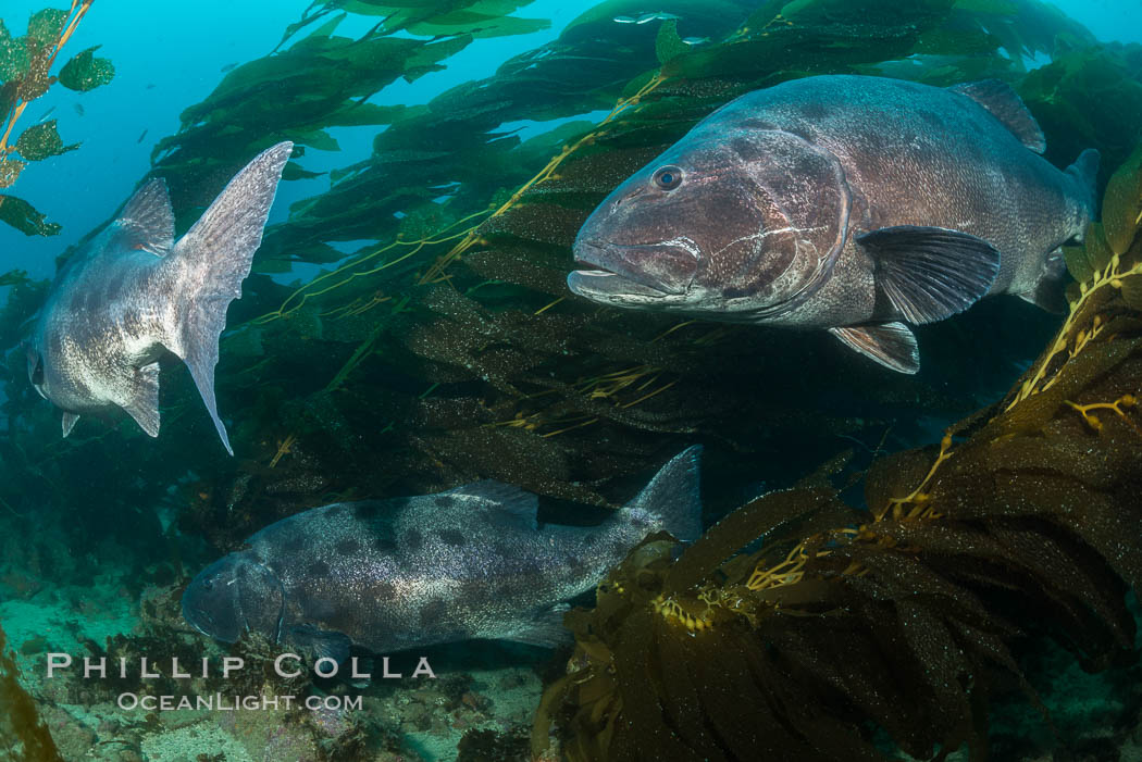 Giant black sea bass, gathering in a mating - courtship aggregation amid kelp forest, Catalina Island. California, USA, Stereolepis gigas, natural history stock photograph, photo id 33355