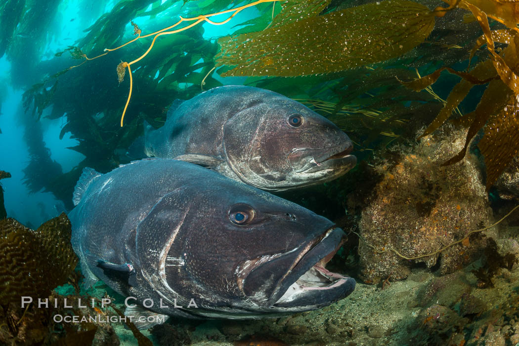 Giant black sea bass, gathering in a mating - courtship aggregation amid kelp forest, Catalina Island. Catalina Island, California, USA, Stereolepis gigas, natural history stock photograph, photo id 33359
