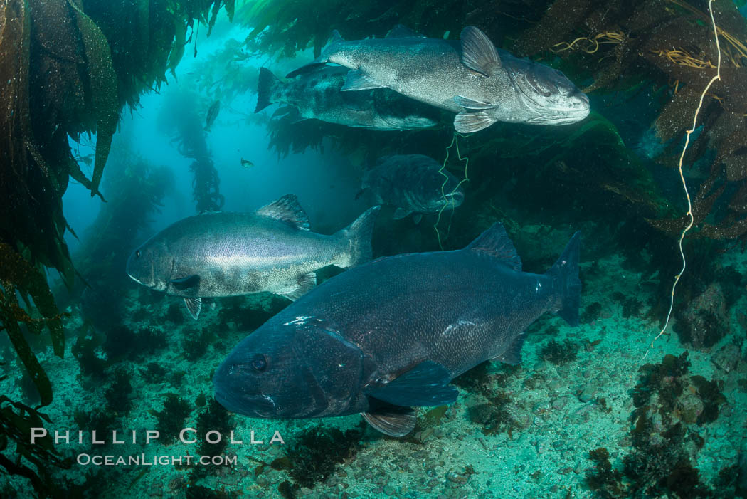 Giant black sea bass, gathering in a mating - courtship aggregation amid kelp forest, Catalina Island. Catalina Island, California, USA, Stereolepis gigas, natural history stock photograph, photo id 33361