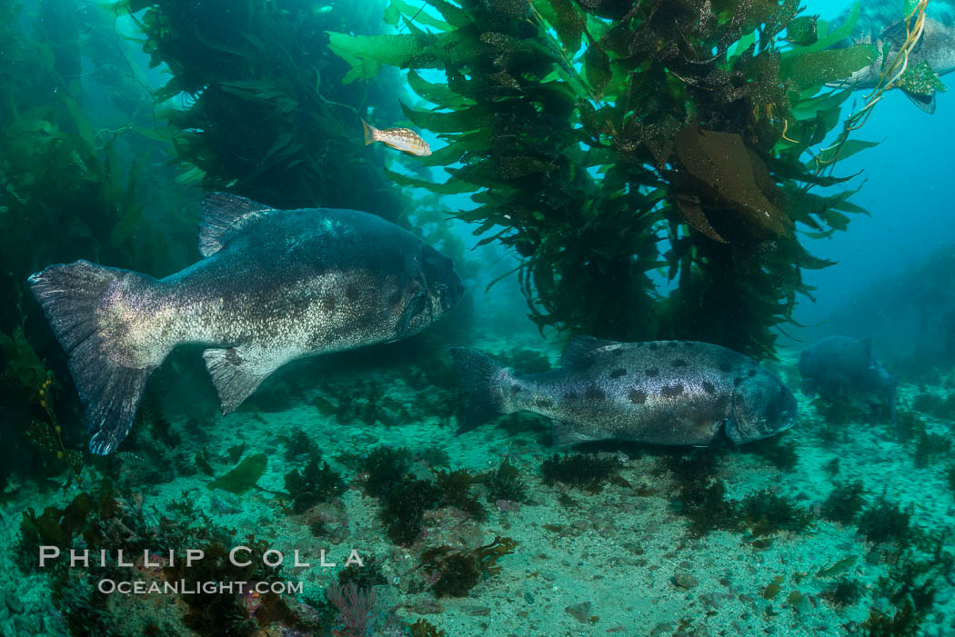 Giant black sea bass, gathering in a mating - courtship aggregation amid kelp forest, Catalina Island. California, USA, Stereolepis gigas, natural history stock photograph, photo id 33373