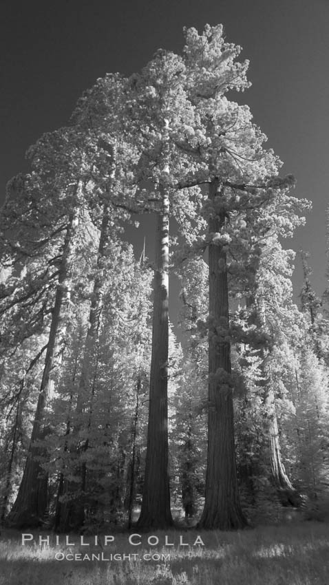 Giant sequoia tree towers over surrounding trees in a Sierra forest.  Infrared image. Mariposa Grove, Sequoiadendron giganteum, natural history stock photograph, photo id 23306