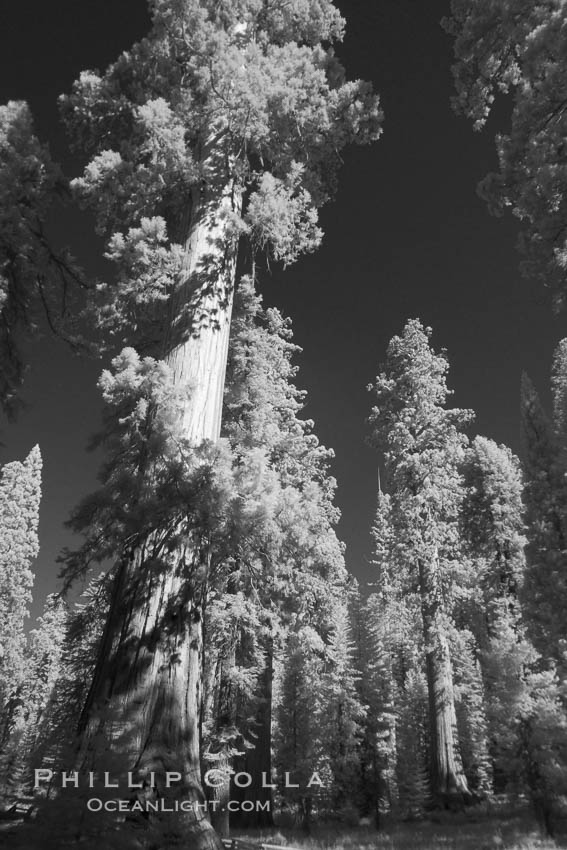Image 23308, Giant sequoia tree towers over surrounding trees in a Sierra forest.  Infrared image. Mariposa Grove, Sequoiadendron giganteum