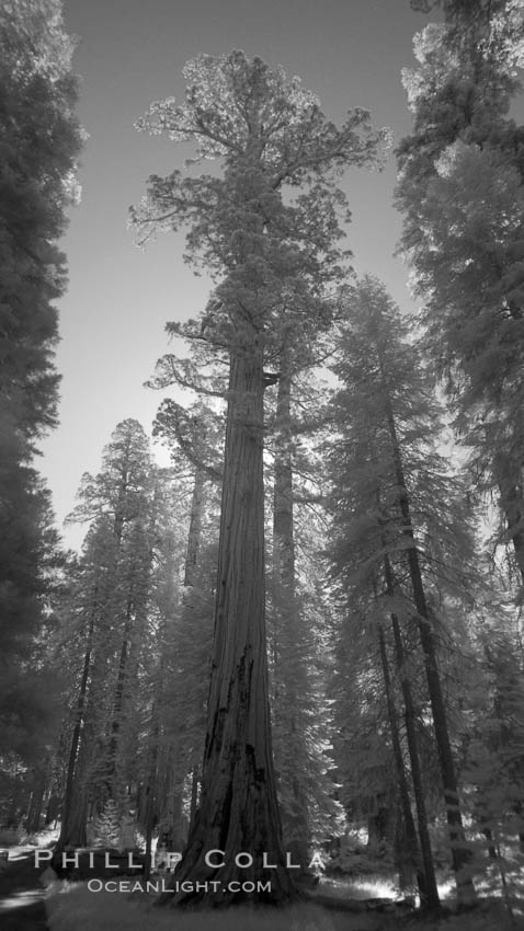 Image 23307, Giant sequoia tree towers over surrounding trees in a Sierra forest.  Infrared image. Mariposa Grove, Sequoiadendron giganteum
