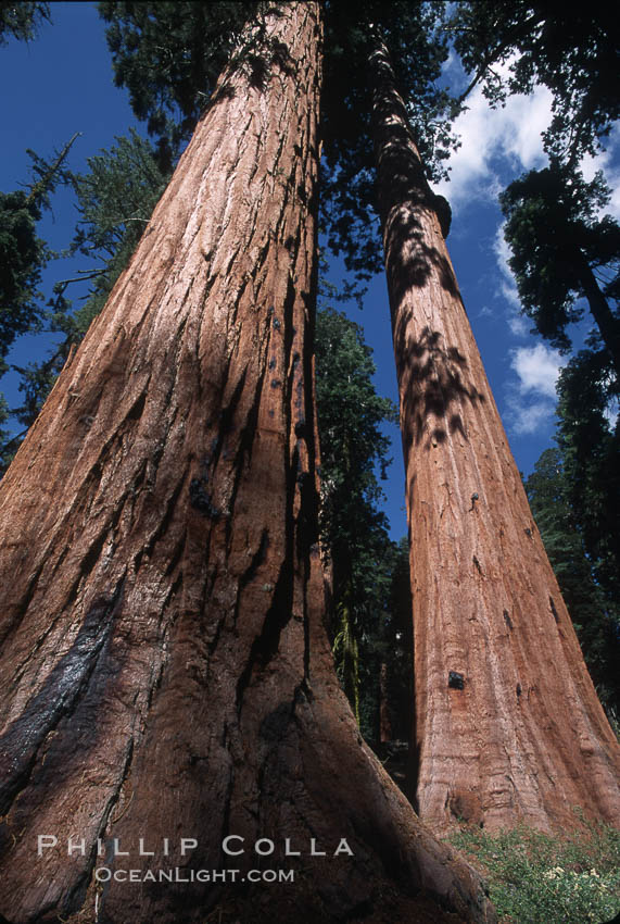 Giant Sequoia tree. Mariposa Grove, Yosemite National Park, California, USA, Sequoiadendron giganteum, natural history stock photograph, photo id 03646