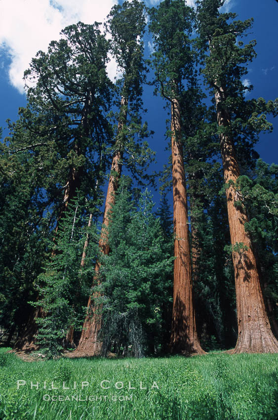 Giant Sequoia tree. Mariposa Grove, Yosemite National Park, California, USA, Sequoiadendron giganteum, natural history stock photograph, photo id 03650