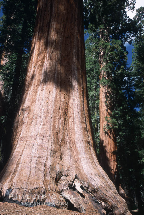 Giant Sequoia tree. Mariposa Grove, Yosemite National Park, California, USA, Sequoiadendron giganteum, natural history stock photograph, photo id 03662