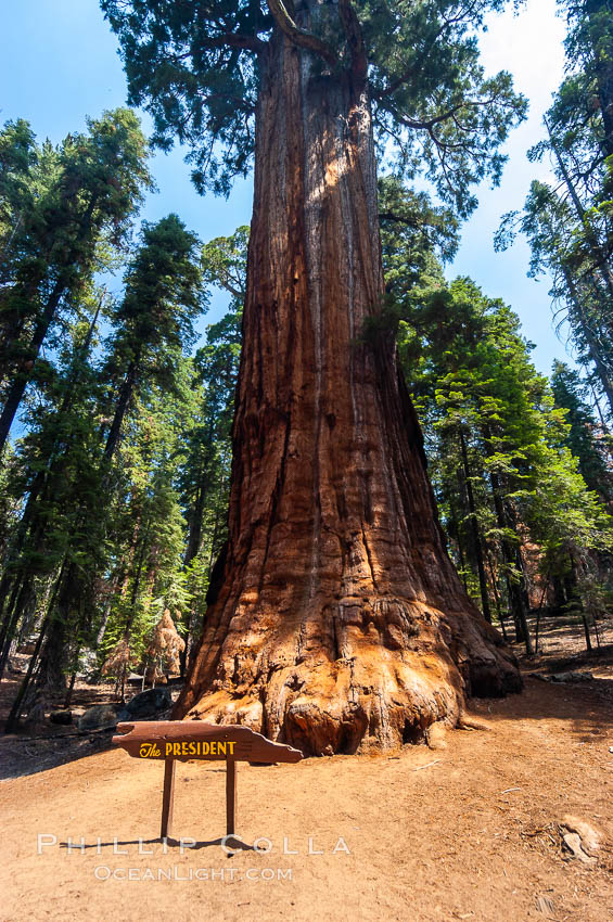 The President, an enormous Sequoia tree. Giant Forest, Sequoia Kings Canyon National Park, California, USA, Sequoiadendron giganteum, natural history stock photograph, photo id 09874
