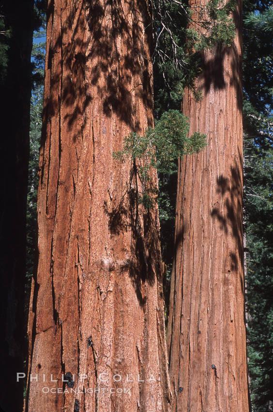 Giant Sequoia tree. Mariposa Grove, Yosemite National Park, California, USA, Sequoiadendron giganteum, natural history stock photograph, photo id 03664