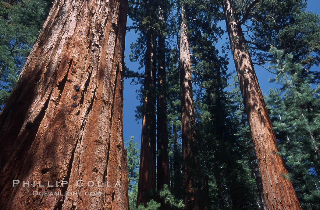 Giant Sequoia tree. Mariposa Grove, Yosemite National Park, California, USA, Sequoiadendron giganteum, natural history stock photograph, photo id 03672