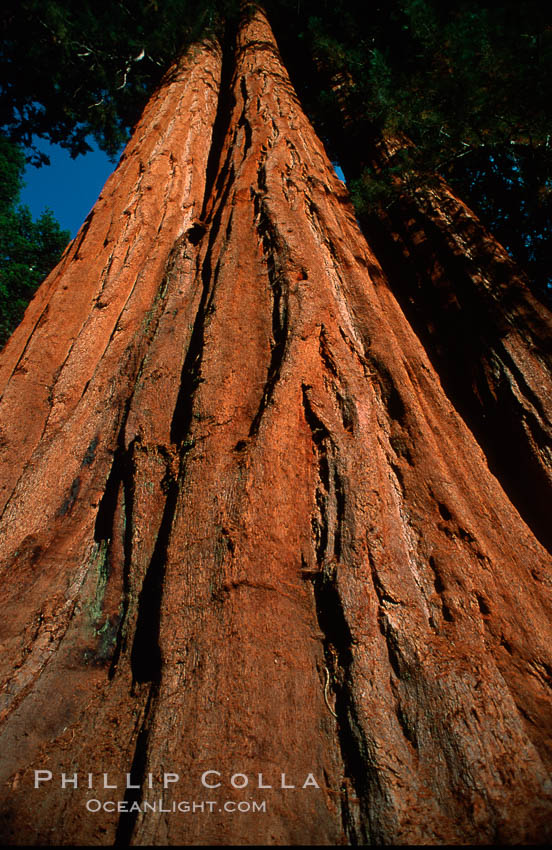 Sequoia trees. Sequoia Kings Canyon National Park, California, USA, Sequoiadendron giganteum, natural history stock photograph, photo id 02351