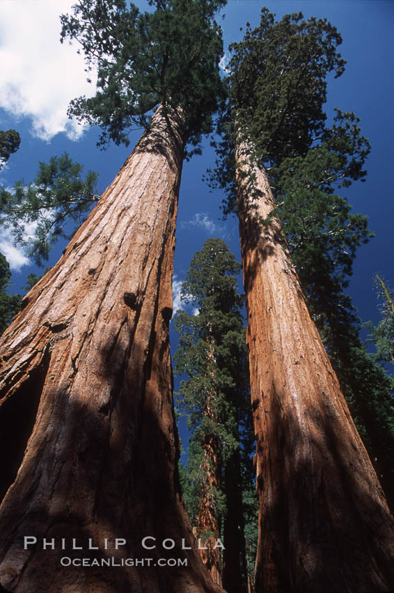 Giant Sequoia tree. Mariposa Grove, Yosemite National Park, California, USA, Sequoiadendron giganteum, natural history stock photograph, photo id 03647