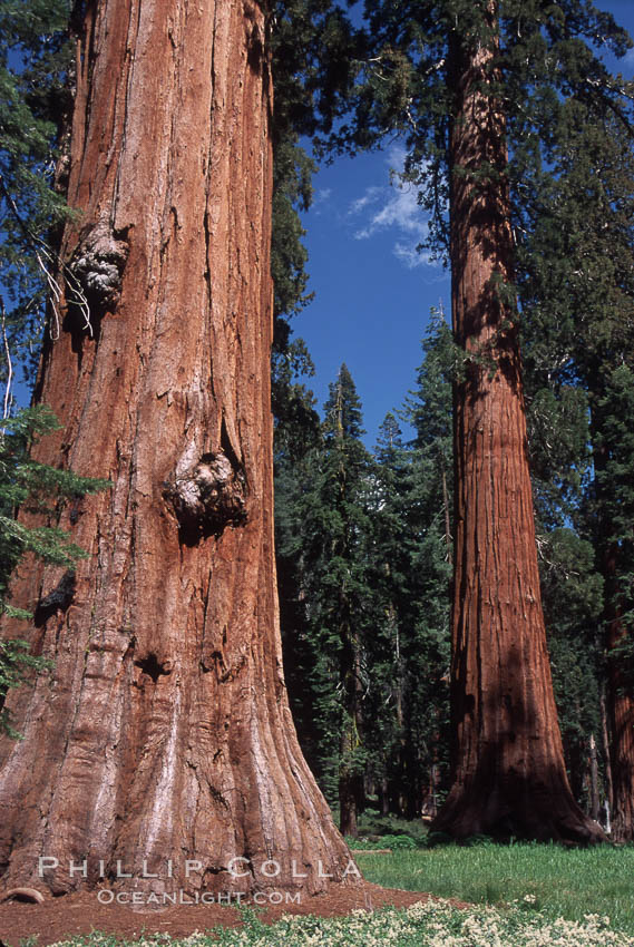 Giant Sequoia tree. Mariposa Grove, Yosemite National Park, California, USA, Sequoiadendron giganteum, natural history stock photograph, photo id 03659