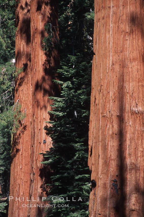 Image 03663, Giant Sequoia tree. Mariposa Grove, Yosemite National Park, California, USA, Sequoiadendron giganteum, Phillip Colla, all rights reserved worldwide. Keywords: california, environment, forest, giant, giant redwood, giant sequoia, giant sequoia tree, grove, landscape, mariposa grove, national park, national parks, nature, outdoors, outside, plant, redwood, redwood tree, scene, scenery, scenic, sequoia, sequoia tree, sequoiadendron giganteum, sierra, sierra nevada, tall, terrestrial plant, tree, usa, world heritage sites, yosemite, yosemite national park, yosemite park.
