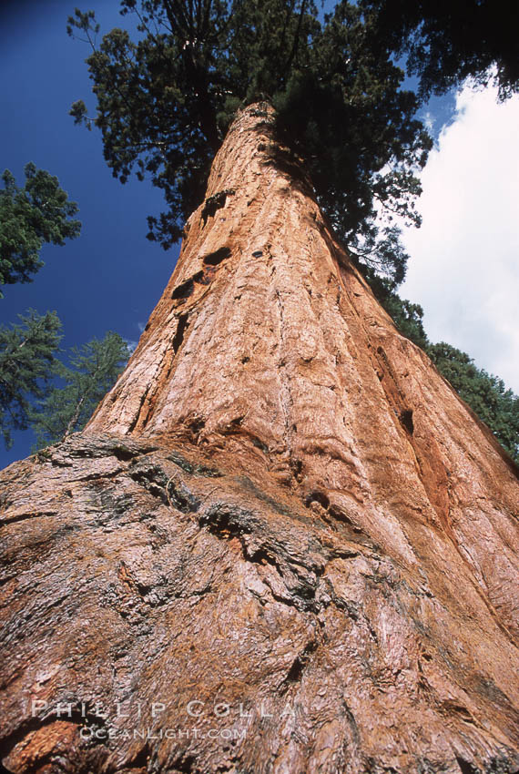 Giant Sequoia tree. Mariposa Grove, Yosemite National Park, California, USA, Sequoiadendron giganteum, natural history stock photograph, photo id 03667
